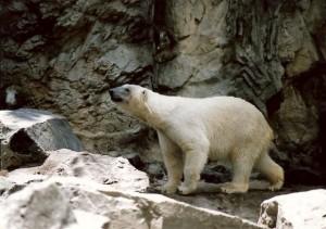 Inspirez-vous de l'ours blanc pour améliorer les résultats de votre business